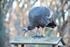 Young Wild Turkey on Birdfeeder, Dane County, Wisconsin
