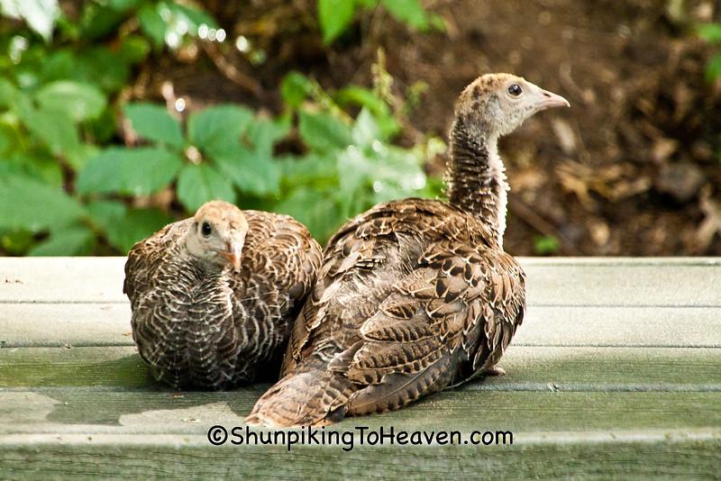 Wild Turkey Poults, Dane County, Wisconsin