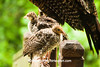 Wild Turkey Poults Preening on Porch Railing, Dane County, Wisconsin