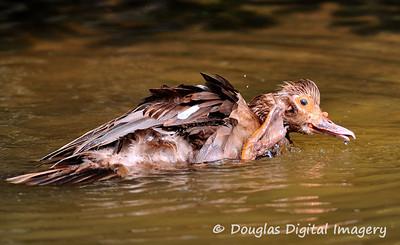 wet_duck002