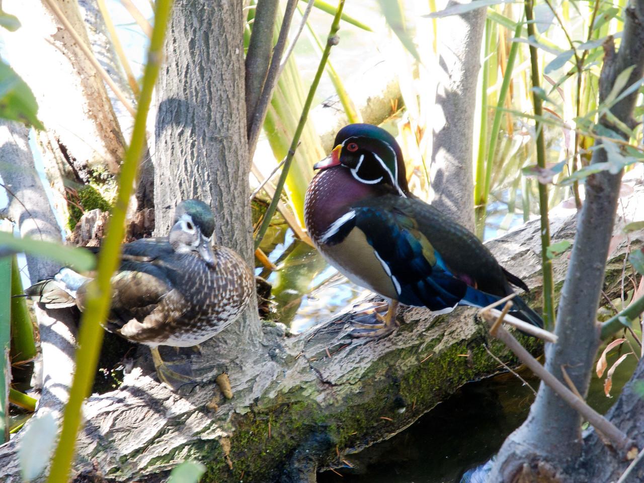 1823 Wood Ducks female and male