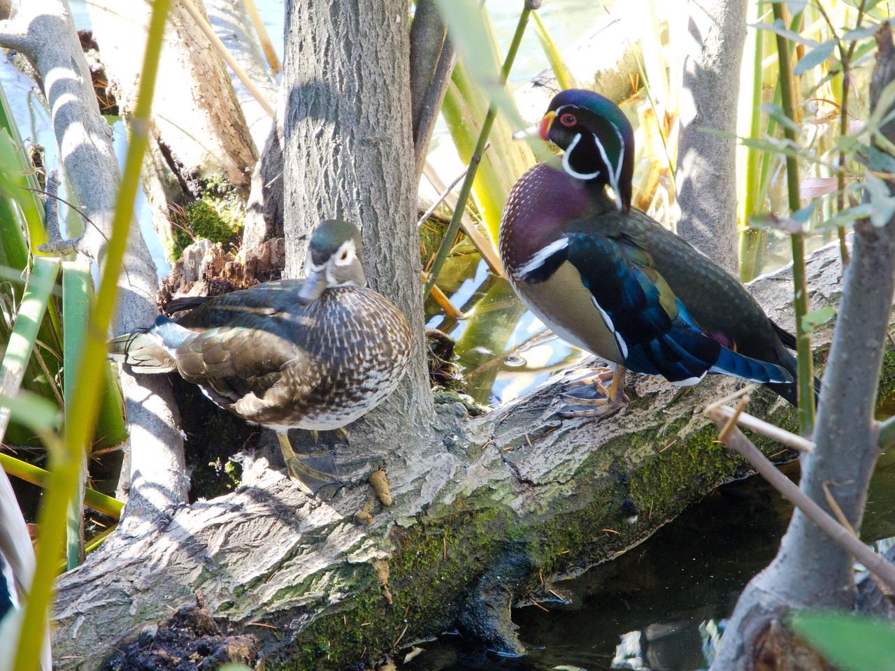 1820 Wood Ducks female male