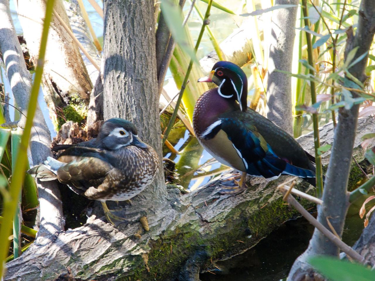 1819 Wood Ducks female and male
