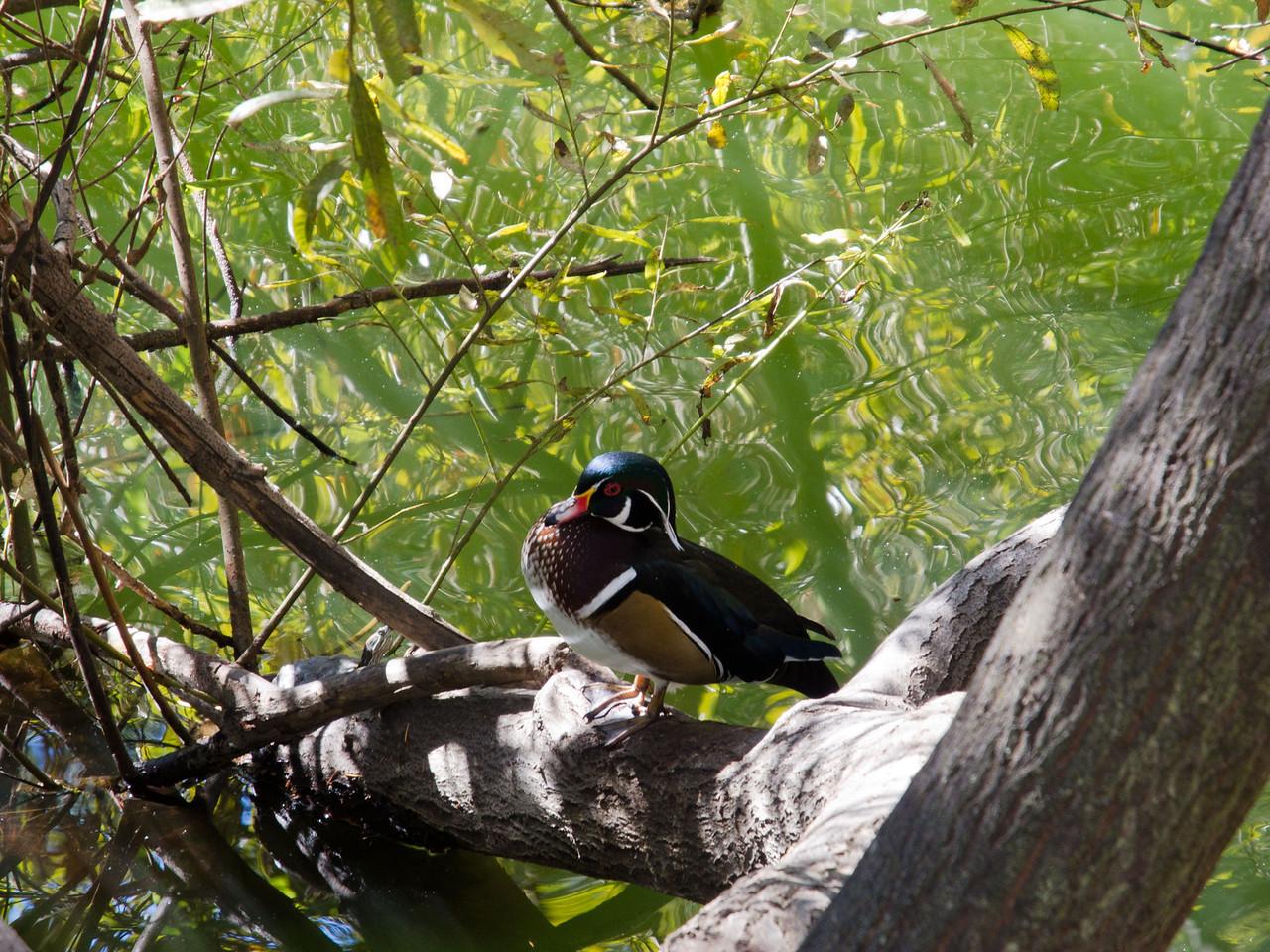 1812 Wood Duck