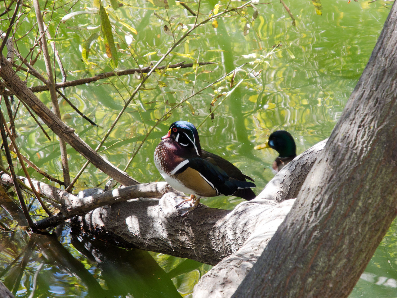 1813 Wood Duck and Mallard