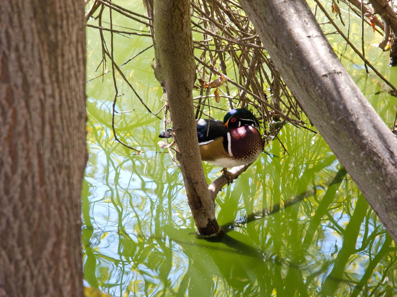 1814 Wood Duck