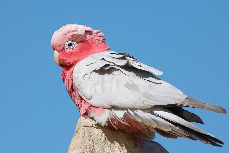Galah, Western Australia