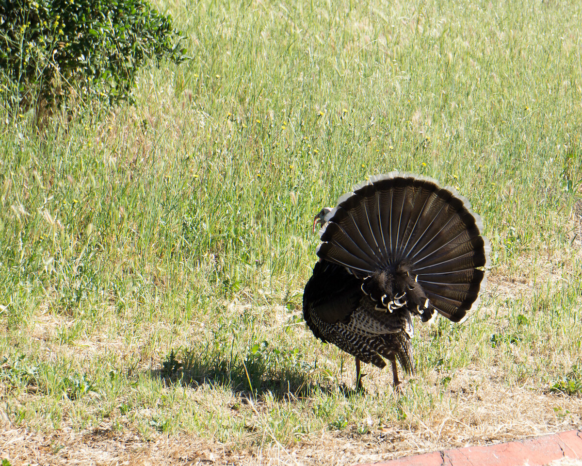 537 American Turkey