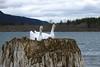 Greylag x Swan Goose hybrid