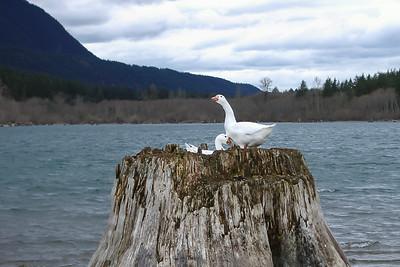 What goose?
