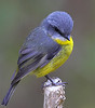 Yellow Robin,  Wilson's Promontory