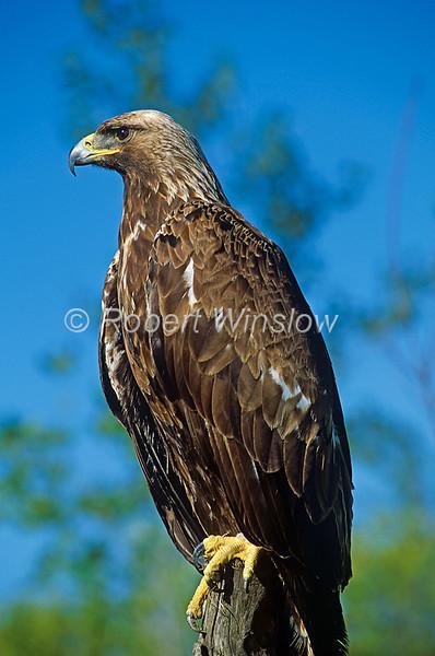 Golden Eagle, Aquila chrysaetos, Controlled Conditions
