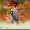 2017-04-19_P4190013_ Gray Catbird,Clwtr,fl