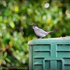2017-03-25_P3250029_ Gray Catbird