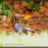 2017-04-19_P4190017_ Gray Catbird,Clwtr,fl