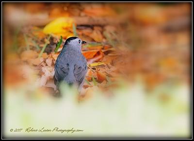 2017-04-19_P4190014_ Gray Catbird,Clwtr,fl