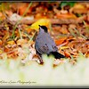 2017-04-19_P4190010_ Gray Catbird,Clwtr,fl