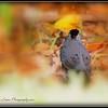 2017-04-19_P4190015_ Gray Catbird,Clwtr,fl