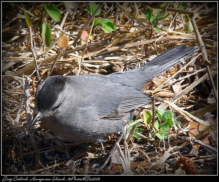 Gray Catbird...Honeymoon Island...©PhotosRUs2008