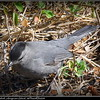 Gray Catbird...Honeymoon Island...©PhotosRUs2008