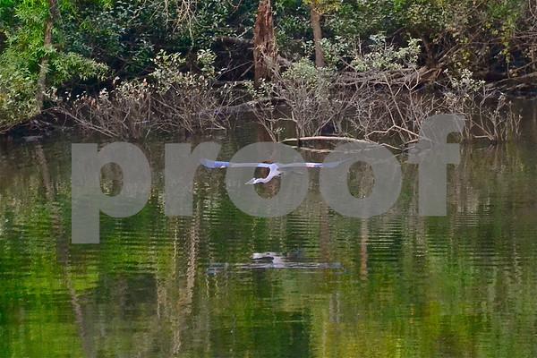 DSC_5471  GBH wings horizontal