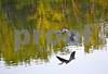 DSC_5482 GBH wing down