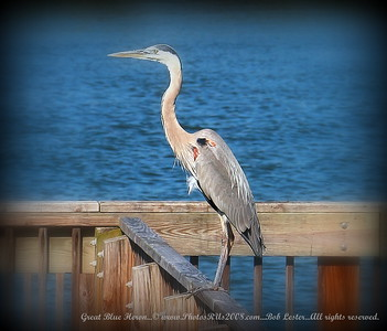 Great Blue Heron...© www.PhotosRUs2008.com...Bob Lester...All rights reserved.