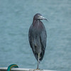 2018-01-23_P1110209_  Great Blue Heron
