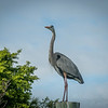 2018-01-23_P1110220_  Great Blue Heron