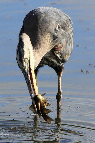 "Speer fishing! GBH seen at Ridgefield National Wildlife Refuge.  <div class=""ss-paypal-button""><br><form target=""paypal"" action=""https://www.paypal.com/cgi-bin/webscr"" method=""post"" ><input type=""hidden"" name=""cmd"" value=""_cart""><input type=""hidden"" name=""business"" value=""947PXEXBHP9H8""><input type=""hidden"" name=""lc"" value=""US""><input type=""hidden"" name=""item_name"" value=""Speer fishing! GBH seen at Ridgefield National Wildlife Refuge.""><input type=""hidden"" name=""item_number"" value=""http:&#x2F;&#x2F;www.werthwildphotography.com&#x2F;Animals&#x2F;Birds&#x2F;Great-Blue-Herons&#x2F;i-CrhKgDN""><input type=""hidden"" name=""button_subtype"" value=""products""><input type=""hidden"" name=""no_note"" value=""0""><input type=""hidden"" name=""cn"" value=""Add special instructions to the seller:""><input type=""hidden"" name=""no_shipping"" value=""2""><input type=""hidden"" name=""currency_code"" value=""USD""><input type=""hidden"" name=""shipping"" value=""4.00""><input type=""hidden"" name=""add"" value=""1""><input type=""hidden"" name=""bn"" value=""PP-ShopCartBF:btn_cart_LG.gif:NonHosted""><table class=""printSize""><tr><td><input type=""hidden"" name=""on0"" value=""Print size"">Print size</td></tr><tr><td><select name=""os0""> <option value=""5 x 7"">5 x 7 $14.00 USD</option> <option value=""8 x 10"">8 x 10 $20.00 USD</option> <option value=""8 x 12"">8 x 12 $20.00 USD</option> <option value=""11 x 14"">11 x 14 $28.00 USD</option> <option value=""12 x 18"">12 x 18 $35.00 USD</option> <option value=""16 x 20"">16 x 20 $50.00 USD</option></select> </td></tr></table><input type=""hidden"" name=""currency_code"" value=""USD""><input type=""hidden"" name=""option_select0"" value=""5 x 7""><input type=""hidden"" name=""option_amount0"" value=""14.00""><input type=""hidden"" name=""option_select1"" value=""8 x 10""><input type=""hidden"" name=""option_amount1"" value=""20.00""><input type=""hidden"" name=""option_select2"" value=""8 x 12""><input type=""hidden"" name=""option_amount2"" value=""20.00""><input type=""hidden"" name=""option_select3"" value=""11 x 14""><input type=""hidden"" name=""option_amount3"" value=""28.00""><input type=""hidden"" name=""option_select4"" value=""12 x 18""><input type=""hidden"" name=""option_amount4"" value=""35.00""><input type=""hidden"" name=""option_select5"" value=""16 x 20""><input type=""hidden"" name=""option_amount5"" value=""50.00""><input type=""hidden"" name=""option_index"" value=""0""><input type=""image"" src=""https://www.paypalobjects.com/en_US/i/btn/btn_cart_LG.gif"" border=""0"" name=""submit"" alt=""PayPal - The safer, easier way to pay online!"" class=""btnPayPal""><img alt="""" border=""0"" src=""https://www.paypalobjects.com/en_US/i/scr/pixel.gif"" width=""1"" height=""1""></form></div><div class=""ss-paypal-button-end"" style=""display:none""></div>"