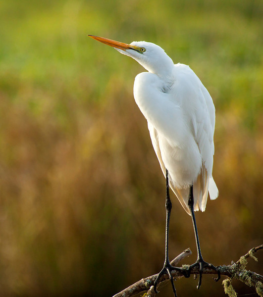 """This great egret was seen at Ridgefield National Wildlife Refuge. There was actually another egret on the same group of branches about 10 ft away from this one. This one however, was turned and facing me and giving me some great poses!  <div class=""""ss-paypal-button""""><br><form target=""""paypal"""" action=""""https://www.paypal.com/cgi-bin/webscr"""" method=""""post"""" ><input type=""""hidden"""" name=""""cmd"""" value=""""_cart""""><input type=""""hidden"""" name=""""business"""" value=""""947PXEXBHP9H8""""><input type=""""hidden"""" name=""""lc"""" value=""""US""""><input type=""""hidden"""" name=""""item_name"""" value=""""This great egret was seen at Ridgefield National Wildlife Refuge. There was actually another egret on the same group of branches about 10 ft away from this one. This one however, was turned and facing me and giving me some great poses!""""><input type=""""hidden"""" name=""""item_number"""" value=""""http:&#x2F;&#x2F;www.werthwildphotography.com&#x2F;Animals&#x2F;Birds&#x2F;Great-Blue-Herons&#x2F;i-F2rFDDM""""><input type=""""hidden"""" name=""""button_subtype"""" value=""""products""""><input type=""""hidden"""" name=""""no_note"""" value=""""0""""><input type=""""hidden"""" name=""""cn"""" value=""""Add special instructions to the seller:""""><input type=""""hidden"""" name=""""no_shipping"""" value=""""2""""><input type=""""hidden"""" name=""""currency_code"""" value=""""USD""""><input type=""""hidden"""" name=""""shipping"""" value=""""4.00""""><input type=""""hidden"""" name=""""add"""" value=""""1""""><input type=""""hidden"""" name=""""bn"""" value=""""PP-ShopCartBF:btn_cart_LG.gif:NonHosted""""><table class=""""printSize""""><tr><td><input type=""""hidden"""" name=""""on0"""" value=""""Print size"""">Print size</td></tr><tr><td><select name=""""os0""""> <option value=""""5 x 7"""">5 x 7 $14.00 USD</option> <option value=""""8 x 10"""">8 x 10 $20.00 USD</option> <option value=""""8 x 12"""">8 x 12 $20.00 USD</option> <option value=""""11 x 14"""">11 x 14 $28.00 USD</option> <option value=""""12 x 18"""">12 x 18 $35.00 USD</option> <option value=""""16 x 20"""">16 x 20 $50.00 USD</option></select> </td></tr></table><input type=""""hidden"""" name=""""currency_code"""" value=""""USD""""><input type=""""hidden"""" name=""""option_select0"""" value=""""5 x 7""""><input type=""""hidden"""" name="""