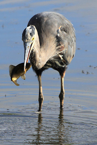 """Speer fishing! GBH seen at Ridgefield National Wildlife Refuge.  <div class=""""ss-paypal-button""""><br><form target=""""paypal"""" action=""""https://www.paypal.com/cgi-bin/webscr"""" method=""""post"""" ><input type=""""hidden"""" name=""""cmd"""" value=""""_cart""""><input type=""""hidden"""" name=""""business"""" value=""""947PXEXBHP9H8""""><input type=""""hidden"""" name=""""lc"""" value=""""US""""><input type=""""hidden"""" name=""""item_name"""" value=""""Speer fishing! GBH seen at Ridgefield National Wildlife Refuge.""""><input type=""""hidden"""" name=""""item_number"""" value=""""http:&#x2F;&#x2F;www.werthwildphotography.com&#x2F;Animals&#x2F;Birds&#x2F;Great-Blue-Herons&#x2F;i-G2Jz9hK""""><input type=""""hidden"""" name=""""button_subtype"""" value=""""products""""><input type=""""hidden"""" name=""""no_note"""" value=""""0""""><input type=""""hidden"""" name=""""cn"""" value=""""Add special instructions to the seller:""""><input type=""""hidden"""" name=""""no_shipping"""" value=""""2""""><input type=""""hidden"""" name=""""currency_code"""" value=""""USD""""><input type=""""hidden"""" name=""""shipping"""" value=""""4.00""""><input type=""""hidden"""" name=""""add"""" value=""""1""""><input type=""""hidden"""" name=""""bn"""" value=""""PP-ShopCartBF:btn_cart_LG.gif:NonHosted""""><table class=""""printSize""""><tr><td><input type=""""hidden"""" name=""""on0"""" value=""""Print size"""">Print size</td></tr><tr><td><select name=""""os0""""> <option value=""""5 x 7"""">5 x 7 $14.00 USD</option> <option value=""""8 x 10"""">8 x 10 $20.00 USD</option> <option value=""""8 x 12"""">8 x 12 $20.00 USD</option> <option value=""""11 x 14"""">11 x 14 $28.00 USD</option> <option value=""""12 x 18"""">12 x 18 $35.00 USD</option> <option value=""""16 x 20"""">16 x 20 $50.00 USD</option></select> </td></tr></table><input type=""""hidden"""" name=""""currency_code"""" value=""""USD""""><input type=""""hidden"""" name=""""option_select0"""" value=""""5 x 7""""><input type=""""hidden"""" name=""""option_amount0"""" value=""""14.00""""><input type=""""hidden"""" name=""""option_select1"""" value=""""8 x 10""""><input type=""""hidden"""" name=""""option_amount1"""" value=""""20.00""""><input type=""""hidden"""" name=""""option_select2"""" value=""""8 x 12""""><input type=""""hidden"""" name=""""option_amount2"""" value=""""20.00""""><input type=""""hidden"""" name=""""option_select3"""" value=""""11 x 14""""><input type=""""hidden"""" nam"""