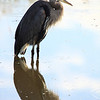 "A great blue herons reflection, seen at Ridgefield National Wildlife Refuge.  <div class=""ss-paypal-button""><br><form target=""paypal"" action=""https://www.paypal.com/cgi-bin/webscr"" method=""post"" ><input type=""hidden"" name=""cmd"" value=""_cart""><input type=""hidden"" name=""business"" value=""947PXEXBHP9H8""><input type=""hidden"" name=""lc"" value=""US""><input type=""hidden"" name=""item_name"" value=""A great blue herons reflection, seen at Ridgefield National Wildlife Refuge.""><input type=""hidden"" name=""item_number"" value=""http:&#x2F;&#x2F;www.werthwildphotography.com&#x2F;Animals&#x2F;Birds&#x2F;Great-Blue-Herons&#x2F;i-L2QnwFp""><input type=""hidden"" name=""button_subtype"" value=""products""><input type=""hidden"" name=""no_note"" value=""0""><input type=""hidden"" name=""cn"" value=""Add special instructions to the seller:""><input type=""hidden"" name=""no_shipping"" value=""2""><input type=""hidden"" name=""currency_code"" value=""USD""><input type=""hidden"" name=""shipping"" value=""4.00""><input type=""hidden"" name=""add"" value=""1""><input type=""hidden"" name=""bn"" value=""PP-ShopCartBF:btn_cart_LG.gif:NonHosted""><table class=""printSize""><tr><td><input type=""hidden"" name=""on0"" value=""Print size"">Print size</td></tr><tr><td><select name=""os0""> <option value=""5 x 7"">5 x 7 $14.00 USD</option> <option value=""8 x 10"">8 x 10 $20.00 USD</option> <option value=""8 x 12"">8 x 12 $20.00 USD</option> <option value=""11 x 14"">11 x 14 $28.00 USD</option> <option value=""12 x 18"">12 x 18 $35.00 USD</option> <option value=""16 x 20"">16 x 20 $50.00 USD</option></select> </td></tr></table><input type=""hidden"" name=""currency_code"" value=""USD""><input type=""hidden"" name=""option_select0"" value=""5 x 7""><input type=""hidden"" name=""option_amount0"" value=""14.00""><input type=""hidden"" name=""option_select1"" value=""8 x 10""><input type=""hidden"" name=""option_amount1"" value=""20.00""><input type=""hidden"" name=""option_select2"" value=""8 x 12""><input type=""hidden"" name=""option_amount2"" value=""20.00""><input type=""hidden"" name=""option_select3"" value=""11 x 14""><input type=""hidden"" name=""option_amount3"" value=""28.00""><input type=""hidden"" name=""option_select4"" value=""12 x 18""><input type=""hidden"" name=""option_amount4"" value=""35.00""><input type=""hidden"" name=""option_select5"" value=""16 x 20""><input type=""hidden"" name=""option_amount5"" value=""50.00""><input type=""hidden"" name=""option_index"" value=""0""><input type=""image"" src=""https://www.paypalobjects.com/en_US/i/btn/btn_cart_LG.gif"" border=""0"" name=""submit"" alt=""PayPal - The safer, easier way to pay online!"" class=""btnPayPal""><img alt="""" border=""0"" src=""https://www.paypalobjects.com/en_US/i/scr/pixel.gif"" width=""1"" height=""1""></form></div><div class=""ss-paypal-button-end"" style=""display:none""></div>"