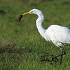 "Caught one! This great egret waited patiently for a vole to poke its head out of its den, that would be one scary last sight for that rodent! Seen at Ridgefield National Wildlife Refuge.  <div class=""ss-paypal-button""><br><form target=""paypal"" action=""https://www.paypal.com/cgi-bin/webscr"" method=""post"" ><input type=""hidden"" name=""cmd"" value=""_cart""><input type=""hidden"" name=""business"" value=""947PXEXBHP9H8""><input type=""hidden"" name=""lc"" value=""US""><input type=""hidden"" name=""item_name"" value=""Caught one! This great egret waited patiently for a vole to poke its head out of its den, that would be one scary last sight for that rodent! Seen at Ridgefield National Wildlife Refuge.""><input type=""hidden"" name=""item_number"" value=""http:&#x2F;&#x2F;www.werthwildphotography.com&#x2F;Animals&#x2F;Birds&#x2F;Great-Blue-Herons&#x2F;i-QFQCBhX""><input type=""hidden"" name=""button_subtype"" value=""products""><input type=""hidden"" name=""no_note"" value=""0""><input type=""hidden"" name=""cn"" value=""Add special instructions to the seller:""><input type=""hidden"" name=""no_shipping"" value=""2""><input type=""hidden"" name=""currency_code"" value=""USD""><input type=""hidden"" name=""shipping"" value=""4.00""><input type=""hidden"" name=""add"" value=""1""><input type=""hidden"" name=""bn"" value=""PP-ShopCartBF:btn_cart_LG.gif:NonHosted""><table class=""printSize""><tr><td><input type=""hidden"" name=""on0"" value=""Print size"">Print size</td></tr><tr><td><select name=""os0""> <option value=""5 x 7"">5 x 7 $14.00 USD</option> <option value=""8 x 10"">8 x 10 $20.00 USD</option> <option value=""8 x 12"">8 x 12 $20.00 USD</option> <option value=""11 x 14"">11 x 14 $28.00 USD</option> <option value=""12 x 18"">12 x 18 $35.00 USD</option> <option value=""16 x 20"">16 x 20 $50.00 USD</option></select> </td></tr></table><input type=""hidden"" name=""currency_code"" value=""USD""><input type=""hidden"" name=""option_select0"" value=""5 x 7""><input type=""hidden"" name=""option_amount0"" value=""14.00""><input type=""hidden"" name=""option_select1"" value=""8 x 10""><input type=""hidden"" name=""option_amount1"" value=""20.00""><input type=""hidden"" name=""option_select2"" value=""8 x 12""><input type=""hidden"" name=""option_amount2"" value=""20.00""><input type=""hidden"" name=""option_select3"" value=""11 x 14""><input type=""hidden"" name=""option_amount3"" value=""28.00""><input type=""hidden"" name=""option_select4"" value=""12 x 18""><input type=""hidden"" name=""option_amount4"" value=""35.00""><input type=""hidden"" name=""option_select5"" value=""16 x 20""><input type=""hidden"" name=""option_amount5"" value=""50.00""><input type=""hidden"" name=""option_index"" value=""0""><input type=""image"" src=""https://www.paypalobjects.com/en_US/i/btn/btn_cart_LG.gif"" border=""0"" name=""submit"" alt=""PayPal - The safer, easier way to pay online!"" class=""btnPayPal""><img alt="""" border=""0"" src=""https://www.paypalobjects.com/en_US/i/scr/pixel.gif"" width=""1"" height=""1""></form></div><div class=""ss-paypal-button-end"" style=""display:none""></div>"
