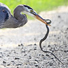 "A snakes last defense against a herons quest for a meal. Seen at Ridgefield National Wildlife Refuge.  <div class=""ss-paypal-button""><br><form target=""paypal"" action=""https://www.paypal.com/cgi-bin/webscr"" method=""post"" ><input type=""hidden"" name=""cmd"" value=""_cart""><input type=""hidden"" name=""business"" value=""947PXEXBHP9H8""><input type=""hidden"" name=""lc"" value=""US""><input type=""hidden"" name=""item_name"" value=""A snakes last defense against a herons quest for a meal. Seen at Ridgefield National Wildlife Refuge.""><input type=""hidden"" name=""item_number"" value=""http:&#x2F;&#x2F;www.werthwildphotography.com&#x2F;Animals&#x2F;Birds&#x2F;Great-Blue-Herons&#x2F;i-VVN9Snq""><input type=""hidden"" name=""button_subtype"" value=""products""><input type=""hidden"" name=""no_note"" value=""0""><input type=""hidden"" name=""cn"" value=""Add special instructions to the seller:""><input type=""hidden"" name=""no_shipping"" value=""2""><input type=""hidden"" name=""currency_code"" value=""USD""><input type=""hidden"" name=""shipping"" value=""4.00""><input type=""hidden"" name=""add"" value=""1""><input type=""hidden"" name=""bn"" value=""PP-ShopCartBF:btn_cart_LG.gif:NonHosted""><table class=""printSize""><tr><td><input type=""hidden"" name=""on0"" value=""Print size"">Print size</td></tr><tr><td><select name=""os0""> <option value=""5 x 7"">5 x 7 $14.00 USD</option> <option value=""8 x 10"">8 x 10 $20.00 USD</option> <option value=""8 x 12"">8 x 12 $20.00 USD</option> <option value=""11 x 14"">11 x 14 $28.00 USD</option> <option value=""12 x 18"">12 x 18 $35.00 USD</option> <option value=""16 x 20"">16 x 20 $50.00 USD</option></select> </td></tr></table><input type=""hidden"" name=""currency_code"" value=""USD""><input type=""hidden"" name=""option_select0"" value=""5 x 7""><input type=""hidden"" name=""option_amount0"" value=""14.00""><input type=""hidden"" name=""option_select1"" value=""8 x 10""><input type=""hidden"" name=""option_amount1"" value=""20.00""><input type=""hidden"" name=""option_select2"" value=""8 x 12""><input type=""hidden"" name=""option_amount2"" value=""20.00""><input type=""hidden"" name=""option_select3"" value=""11 x 14""><input type=""hidden"" name=""option_amount3"" value=""28.00""><input type=""hidden"" name=""option_select4"" value=""12 x 18""><input type=""hidden"" name=""option_amount4"" value=""35.00""><input type=""hidden"" name=""option_select5"" value=""16 x 20""><input type=""hidden"" name=""option_amount5"" value=""50.00""><input type=""hidden"" name=""option_index"" value=""0""><input type=""image"" src=""https://www.paypalobjects.com/en_US/i/btn/btn_cart_LG.gif"" border=""0"" name=""submit"" alt=""PayPal - The safer, easier way to pay online!"" class=""btnPayPal""><img alt="""" border=""0"" src=""https://www.paypalobjects.com/en_US/i/scr/pixel.gif"" width=""1"" height=""1""></form></div><div class=""ss-paypal-button-end"" style=""display:none""></div>"