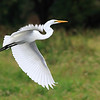 "A Great Egret in flight over the wetlands of Ridgefield National Wildlife Refuge  <div class=""ss-paypal-button""><br><form target=""paypal"" action=""https://www.paypal.com/cgi-bin/webscr"" method=""post"" ><input type=""hidden"" name=""cmd"" value=""_cart""><input type=""hidden"" name=""business"" value=""947PXEXBHP9H8""><input type=""hidden"" name=""lc"" value=""US""><input type=""hidden"" name=""item_name"" value=""A Great Egret in flight over the wetlands of Ridgefield National Wildlife Refuge""><input type=""hidden"" name=""item_number"" value=""http:&#x2F;&#x2F;www.werthwildphotography.com&#x2F;Animals&#x2F;Birds&#x2F;Great-Blue-Herons&#x2F;i-ZT6Vsw9""><input type=""hidden"" name=""button_subtype"" value=""products""><input type=""hidden"" name=""no_note"" value=""0""><input type=""hidden"" name=""cn"" value=""Add special instructions to the seller:""><input type=""hidden"" name=""no_shipping"" value=""2""><input type=""hidden"" name=""currency_code"" value=""USD""><input type=""hidden"" name=""shipping"" value=""4.00""><input type=""hidden"" name=""add"" value=""1""><input type=""hidden"" name=""bn"" value=""PP-ShopCartBF:btn_cart_LG.gif:NonHosted""><table class=""printSize""><tr><td><input type=""hidden"" name=""on0"" value=""Print size"">Print size</td></tr><tr><td><select name=""os0""> <option value=""5 x 7"">5 x 7 $14.00 USD</option> <option value=""8 x 10"">8 x 10 $20.00 USD</option> <option value=""8 x 12"">8 x 12 $20.00 USD</option> <option value=""11 x 14"">11 x 14 $28.00 USD</option> <option value=""12 x 18"">12 x 18 $35.00 USD</option> <option value=""16 x 20"">16 x 20 $50.00 USD</option></select> </td></tr></table><input type=""hidden"" name=""currency_code"" value=""USD""><input type=""hidden"" name=""option_select0"" value=""5 x 7""><input type=""hidden"" name=""option_amount0"" value=""14.00""><input type=""hidden"" name=""option_select1"" value=""8 x 10""><input type=""hidden"" name=""option_amount1"" value=""20.00""><input type=""hidden"" name=""option_select2"" value=""8 x 12""><input type=""hidden"" name=""option_amount2"" value=""20.00""><input type=""hidden"" name=""option_select3"" value=""11 x 14""><input type=""hidden"" name=""option_amount3"" value=""28.00""><input type=""hidden"" name=""option_select4"" value=""12 x 18""><input type=""hidden"" name=""option_amount4"" value=""35.00""><input type=""hidden"" name=""option_select5"" value=""16 x 20""><input type=""hidden"" name=""option_amount5"" value=""50.00""><input type=""hidden"" name=""option_index"" value=""0""><input type=""image"" src=""https://www.paypalobjects.com/en_US/i/btn/btn_cart_LG.gif"" border=""0"" name=""submit"" alt=""PayPal - The safer, easier way to pay online!"" class=""btnPayPal""><img alt="""" border=""0"" src=""https://www.paypalobjects.com/en_US/i/scr/pixel.gif"" width=""1"" height=""1""></form></div><div class=""ss-paypal-button-end"" style=""display:none""></div>"