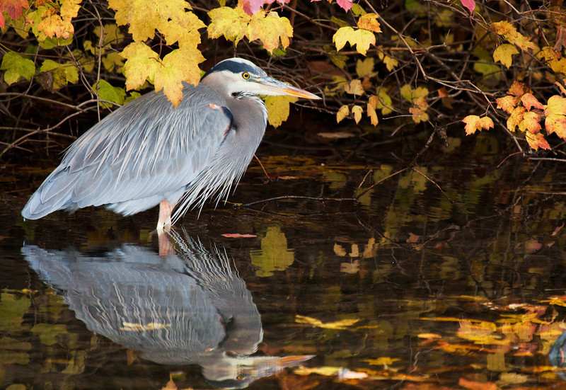 "This great blue heron was seen at the Crystal Springs Rhododendron Garden in Portland, Oregon. It was taken in the fall of 2011 and was framed very nicely by some fall color.  <div class=""ss-paypal-button""><br><form target=""paypal"" action=""https://www.paypal.com/cgi-bin/webscr"" method=""post"" ><input type=""hidden"" name=""cmd"" value=""_cart""><input type=""hidden"" name=""business"" value=""947PXEXBHP9H8""><input type=""hidden"" name=""lc"" value=""US""><input type=""hidden"" name=""item_name"" value=""This great blue heron was seen at the Crystal Springs Rhododendron Garden in Portland, Oregon. It was taken in the fall of 2011 and was framed very nicely by some fall color.""><input type=""hidden"" name=""item_number"" value=""http:&#x2F;&#x2F;www.werthwildphotography.com&#x2F;Animals&#x2F;Birds&#x2F;Great-Blue-Herons&#x2F;i-gQ7dhxK""><input type=""hidden"" name=""button_subtype"" value=""products""><input type=""hidden"" name=""no_note"" value=""0""><input type=""hidden"" name=""cn"" value=""Add special instructions to the seller:""><input type=""hidden"" name=""no_shipping"" value=""2""><input type=""hidden"" name=""currency_code"" value=""USD""><input type=""hidden"" name=""shipping"" value=""4.00""><input type=""hidden"" name=""add"" value=""1""><input type=""hidden"" name=""bn"" value=""PP-ShopCartBF:btn_cart_LG.gif:NonHosted""><table class=""printSize""><tr><td><input type=""hidden"" name=""on0"" value=""Print size"">Print size</td></tr><tr><td><select name=""os0""> <option value=""5 x 7"">5 x 7 $14.00 USD</option> <option value=""8 x 10"">8 x 10 $20.00 USD</option> <option value=""8 x 12"">8 x 12 $20.00 USD</option> <option value=""11 x 14"">11 x 14 $28.00 USD</option> <option value=""12 x 18"">12 x 18 $35.00 USD</option> <option value=""16 x 20"">16 x 20 $50.00 USD</option></select> </td></tr></table><input type=""hidden"" name=""currency_code"" value=""USD""><input type=""hidden"" name=""option_select0"" value=""5 x 7""><input type=""hidden"" name=""option_amount0"" value=""14.00""><input type=""hidden"" name=""option_select1"" value=""8 x 10""><input type=""hidden"" name=""option_amount1"" value=""20.00""><input type=""hidden"" name=""option_select2"" value=""8 x 12""><input type=""hidden"" name=""option_amount2"" value=""20.00""><input type=""hidden"" name=""option_select3"" value=""11 x 14""><input type=""hidden"" name=""option_amount3"" value=""28.00""><input type=""hidden"" name=""option_select4"" value=""12 x 18""><input type=""hidden"" name=""option_amount4"" value=""35.00""><input type=""hidden"" name=""option_select5"" value=""16 x 20""><input type=""hidden"" name=""option_amount5"" value=""50.00""><input type=""hidden"" name=""option_index"" value=""0""><input type=""image"" src=""https://www.paypalobjects.com/en_US/i/btn/btn_cart_LG.gif"" border=""0"" name=""submit"" alt=""PayPal - The safer, easier way to pay online!"" class=""btnPayPal""><img alt="""" border=""0"" src=""https://www.paypalobjects.com/en_US/i/scr/pixel.gif"" width=""1"" height=""1""></form></div><div class=""ss-paypal-button-end"" style=""display:none""></div>"