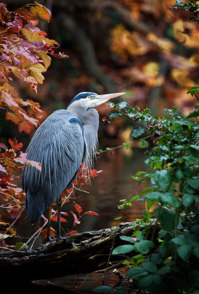 "A great blue heron framed by some beautiful fall color at the Crystal Springs Rhododendron Garden.  <div class=""ss-paypal-button""><br><form target=""paypal"" action=""https://www.paypal.com/cgi-bin/webscr"" method=""post"" ><input type=""hidden"" name=""cmd"" value=""_cart""><input type=""hidden"" name=""business"" value=""947PXEXBHP9H8""><input type=""hidden"" name=""lc"" value=""US""><input type=""hidden"" name=""item_name"" value=""A great blue heron framed by some beautiful fall color at the Crystal Springs Rhododendron Garden.""><input type=""hidden"" name=""item_number"" value=""http:&#x2F;&#x2F;www.werthwildphotography.com&#x2F;Animals&#x2F;Birds&#x2F;Great-Blue-Herons&#x2F;i-gWgScKk""><input type=""hidden"" name=""button_subtype"" value=""products""><input type=""hidden"" name=""no_note"" value=""0""><input type=""hidden"" name=""cn"" value=""Add special instructions to the seller:""><input type=""hidden"" name=""no_shipping"" value=""2""><input type=""hidden"" name=""currency_code"" value=""USD""><input type=""hidden"" name=""shipping"" value=""4.00""><input type=""hidden"" name=""add"" value=""1""><input type=""hidden"" name=""bn"" value=""PP-ShopCartBF:btn_cart_LG.gif:NonHosted""><table class=""printSize""><tr><td><input type=""hidden"" name=""on0"" value=""Print size"">Print size</td></tr><tr><td><select name=""os0""> <option value=""5 x 7"">5 x 7 $14.00 USD</option> <option value=""8 x 10"">8 x 10 $20.00 USD</option> <option value=""8 x 12"">8 x 12 $20.00 USD</option> <option value=""11 x 14"">11 x 14 $28.00 USD</option> <option value=""12 x 18"">12 x 18 $35.00 USD</option> <option value=""16 x 20"">16 x 20 $50.00 USD</option></select> </td></tr></table><input type=""hidden"" name=""currency_code"" value=""USD""><input type=""hidden"" name=""option_select0"" value=""5 x 7""><input type=""hidden"" name=""option_amount0"" value=""14.00""><input type=""hidden"" name=""option_select1"" value=""8 x 10""><input type=""hidden"" name=""option_amount1"" value=""20.00""><input type=""hidden"" name=""option_select2"" value=""8 x 12""><input type=""hidden"" name=""option_amount2"" value=""20.00""><input type=""hidden"" name=""option_select3"" value=""11 x 14""><input type=""hidden"" name=""option_amount3"" value=""28.00""><input type=""hidden"" name=""option_select4"" value=""12 x 18""><input type=""hidden"" name=""option_amount4"" value=""35.00""><input type=""hidden"" name=""option_select5"" value=""16 x 20""><input type=""hidden"" name=""option_amount5"" value=""50.00""><input type=""hidden"" name=""option_index"" value=""0""><input type=""image"" src=""https://www.paypalobjects.com/en_US/i/btn/btn_cart_LG.gif"" border=""0"" name=""submit"" alt=""PayPal - The safer, easier way to pay online!"" class=""btnPayPal""><img alt="""" border=""0"" src=""https://www.paypalobjects.com/en_US/i/scr/pixel.gif"" width=""1"" height=""1""></form></div><div class=""ss-paypal-button-end"" style=""display:none""></div>"