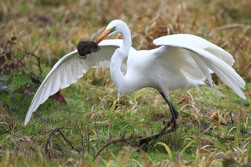 """Caught one! This great egret waited patiently for a vole to poke its head out of its den, that would be one scary last sight for that rodent! Seen at Ridgefield National Wildlife Refuge.  <div class=""""ss-paypal-button""""><br><form target=""""paypal"""" action=""""https://www.paypal.com/cgi-bin/webscr"""" method=""""post"""" ><input type=""""hidden"""" name=""""cmd"""" value=""""_cart""""><input type=""""hidden"""" name=""""business"""" value=""""947PXEXBHP9H8""""><input type=""""hidden"""" name=""""lc"""" value=""""US""""><input type=""""hidden"""" name=""""item_name"""" value=""""Caught one! This great egret waited patiently for a vole to poke its head out of its den, that would be one scary last sight for that rodent! Seen at Ridgefield National Wildlife Refuge.""""><input type=""""hidden"""" name=""""item_number"""" value=""""http:&#x2F;&#x2F;www.werthwildphotography.com&#x2F;Animals&#x2F;Birds&#x2F;Great-Blue-Herons&#x2F;i-rNNDLqM""""><input type=""""hidden"""" name=""""button_subtype"""" value=""""products""""><input type=""""hidden"""" name=""""no_note"""" value=""""0""""><input type=""""hidden"""" name=""""cn"""" value=""""Add special instructions to the seller:""""><input type=""""hidden"""" name=""""no_shipping"""" value=""""2""""><input type=""""hidden"""" name=""""currency_code"""" value=""""USD""""><input type=""""hidden"""" name=""""shipping"""" value=""""4.00""""><input type=""""hidden"""" name=""""add"""" value=""""1""""><input type=""""hidden"""" name=""""bn"""" value=""""PP-ShopCartBF:btn_cart_LG.gif:NonHosted""""><table class=""""printSize""""><tr><td><input type=""""hidden"""" name=""""on0"""" value=""""Print size"""">Print size</td></tr><tr><td><select name=""""os0""""> <option value=""""5 x 7"""">5 x 7 $14.00 USD</option> <option value=""""8 x 10"""">8 x 10 $20.00 USD</option> <option value=""""8 x 12"""">8 x 12 $20.00 USD</option> <option value=""""11 x 14"""">11 x 14 $28.00 USD</option> <option value=""""12 x 18"""">12 x 18 $35.00 USD</option> <option value=""""16 x 20"""">16 x 20 $50.00 USD</option></select> </td></tr></table><input type=""""hidden"""" name=""""currency_code"""" value=""""USD""""><input type=""""hidden"""" name=""""option_select0"""" value=""""5 x 7""""><input type=""""hidden"""" name=""""option_amount0"""" value=""""14.00""""><input type=""""hidden"""" name=""""option_select1"""" value=""""8 x 10""""><input ty"""