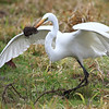 "Caught one! This great egret waited patiently for a vole to poke its head out of its den, that would be one scary last sight for that rodent! Seen at Ridgefield National Wildlife Refuge.  <div class=""ss-paypal-button""><br><form target=""paypal"" action=""https://www.paypal.com/cgi-bin/webscr"" method=""post"" ><input type=""hidden"" name=""cmd"" value=""_cart""><input type=""hidden"" name=""business"" value=""947PXEXBHP9H8""><input type=""hidden"" name=""lc"" value=""US""><input type=""hidden"" name=""item_name"" value=""Caught one! This great egret waited patiently for a vole to poke its head out of its den, that would be one scary last sight for that rodent! Seen at Ridgefield National Wildlife Refuge.""><input type=""hidden"" name=""item_number"" value=""http:&#x2F;&#x2F;www.werthwildphotography.com&#x2F;Animals&#x2F;Birds&#x2F;Great-Blue-Herons&#x2F;i-rNNDLqM""><input type=""hidden"" name=""button_subtype"" value=""products""><input type=""hidden"" name=""no_note"" value=""0""><input type=""hidden"" name=""cn"" value=""Add special instructions to the seller:""><input type=""hidden"" name=""no_shipping"" value=""2""><input type=""hidden"" name=""currency_code"" value=""USD""><input type=""hidden"" name=""shipping"" value=""4.00""><input type=""hidden"" name=""add"" value=""1""><input type=""hidden"" name=""bn"" value=""PP-ShopCartBF:btn_cart_LG.gif:NonHosted""><table class=""printSize""><tr><td><input type=""hidden"" name=""on0"" value=""Print size"">Print size</td></tr><tr><td><select name=""os0""> <option value=""5 x 7"">5 x 7 $14.00 USD</option> <option value=""8 x 10"">8 x 10 $20.00 USD</option> <option value=""8 x 12"">8 x 12 $20.00 USD</option> <option value=""11 x 14"">11 x 14 $28.00 USD</option> <option value=""12 x 18"">12 x 18 $35.00 USD</option> <option value=""16 x 20"">16 x 20 $50.00 USD</option></select> </td></tr></table><input type=""hidden"" name=""currency_code"" value=""USD""><input type=""hidden"" name=""option_select0"" value=""5 x 7""><input type=""hidden"" name=""option_amount0"" value=""14.00""><input type=""hidden"" name=""option_select1"" value=""8 x 10""><input type=""hidden"" name=""option_amount1"" value=""20.00""><input type=""hidden"" name=""option_select2"" value=""8 x 12""><input type=""hidden"" name=""option_amount2"" value=""20.00""><input type=""hidden"" name=""option_select3"" value=""11 x 14""><input type=""hidden"" name=""option_amount3"" value=""28.00""><input type=""hidden"" name=""option_select4"" value=""12 x 18""><input type=""hidden"" name=""option_amount4"" value=""35.00""><input type=""hidden"" name=""option_select5"" value=""16 x 20""><input type=""hidden"" name=""option_amount5"" value=""50.00""><input type=""hidden"" name=""option_index"" value=""0""><input type=""image"" src=""https://www.paypalobjects.com/en_US/i/btn/btn_cart_LG.gif"" border=""0"" name=""submit"" alt=""PayPal - The safer, easier way to pay online!"" class=""btnPayPal""><img alt="""" border=""0"" src=""https://www.paypalobjects.com/en_US/i/scr/pixel.gif"" width=""1"" height=""1""></form></div><div class=""ss-paypal-button-end"" style=""display:none""></div>"