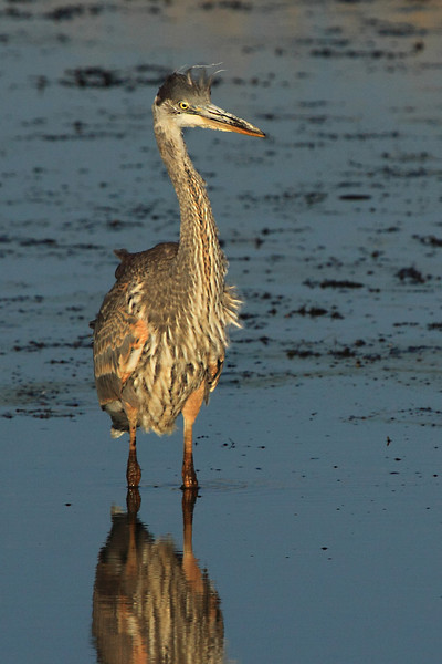 "A heron basking in some last rays of golden light at Ridgefield National Wildlife Refuge.  <div class=""ss-paypal-button""><br><form target=""paypal"" action=""https://www.paypal.com/cgi-bin/webscr"" method=""post"" ><input type=""hidden"" name=""cmd"" value=""_cart""><input type=""hidden"" name=""business"" value=""947PXEXBHP9H8""><input type=""hidden"" name=""lc"" value=""US""><input type=""hidden"" name=""item_name"" value=""A heron basking in some last rays of golden light at Ridgefield National Wildlife Refuge.""><input type=""hidden"" name=""item_number"" value=""http:&#x2F;&#x2F;www.werthwildphotography.com&#x2F;Animals&#x2F;Birds&#x2F;Great-Blue-Herons&#x2F;i-vGWLmd3""><input type=""hidden"" name=""button_subtype"" value=""products""><input type=""hidden"" name=""no_note"" value=""0""><input type=""hidden"" name=""cn"" value=""Add special instructions to the seller:""><input type=""hidden"" name=""no_shipping"" value=""2""><input type=""hidden"" name=""currency_code"" value=""USD""><input type=""hidden"" name=""shipping"" value=""4.00""><input type=""hidden"" name=""add"" value=""1""><input type=""hidden"" name=""bn"" value=""PP-ShopCartBF:btn_cart_LG.gif:NonHosted""><table class=""printSize""><tr><td><input type=""hidden"" name=""on0"" value=""Print size"">Print size</td></tr><tr><td><select name=""os0""> <option value=""5 x 7"">5 x 7 $14.00 USD</option> <option value=""8 x 10"">8 x 10 $20.00 USD</option> <option value=""8 x 12"">8 x 12 $20.00 USD</option> <option value=""11 x 14"">11 x 14 $28.00 USD</option> <option value=""12 x 18"">12 x 18 $35.00 USD</option> <option value=""16 x 20"">16 x 20 $50.00 USD</option></select> </td></tr></table><input type=""hidden"" name=""currency_code"" value=""USD""><input type=""hidden"" name=""option_select0"" value=""5 x 7""><input type=""hidden"" name=""option_amount0"" value=""14.00""><input type=""hidden"" name=""option_select1"" value=""8 x 10""><input type=""hidden"" name=""option_amount1"" value=""20.00""><input type=""hidden"" name=""option_select2"" value=""8 x 12""><input type=""hidden"" name=""option_amount2"" value=""20.00""><input type=""hidden"" name=""option_select3"" value=""11 x 14""><input type=""hidden"" name=""option_amount3"" value=""28.00""><input type=""hidden"" name=""option_select4"" value=""12 x 18""><input type=""hidden"" name=""option_amount4"" value=""35.00""><input type=""hidden"" name=""option_select5"" value=""16 x 20""><input type=""hidden"" name=""option_amount5"" value=""50.00""><input type=""hidden"" name=""option_index"" value=""0""><input type=""image"" src=""https://www.paypalobjects.com/en_US/i/btn/btn_cart_LG.gif"" border=""0"" name=""submit"" alt=""PayPal - The safer, easier way to pay online!"" class=""btnPayPal""><img alt="""" border=""0"" src=""https://www.paypalobjects.com/en_US/i/scr/pixel.gif"" width=""1"" height=""1""></form></div><div class=""ss-paypal-button-end"" style=""display:none""></div>"