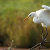 "This great egret was seen at Ridgefield National Wildlife Refuge. There was actually another egret on the same group of branches about 10 ft away from this one. This one however, was turned and facing me and giving me some great poses!  <div class=""ss-paypal-button""><br><form target=""paypal"" action=""https://www.paypal.com/cgi-bin/webscr"" method=""post"" ><input type=""hidden"" name=""cmd"" value=""_cart""><input type=""hidden"" name=""business"" value=""947PXEXBHP9H8""><input type=""hidden"" name=""lc"" value=""US""><input type=""hidden"" name=""item_name"" value=""This great egret was seen at Ridgefield National Wildlife Refuge. There was actually another egret on the same group of branches about 10 ft away from this one. This one however, was turned and facing me and giving me some great poses!""><input type=""hidden"" name=""item_number"" value=""http:&#x2F;&#x2F;www.werthwildphotography.com&#x2F;Animals&#x2F;Birds&#x2F;Great-Blue-Herons&#x2F;i-xJX4F3f""><input type=""hidden"" name=""button_subtype"" value=""products""><input type=""hidden"" name=""no_note"" value=""0""><input type=""hidden"" name=""cn"" value=""Add special instructions to the seller:""><input type=""hidden"" name=""no_shipping"" value=""2""><input type=""hidden"" name=""currency_code"" value=""USD""><input type=""hidden"" name=""shipping"" value=""4.00""><input type=""hidden"" name=""add"" value=""1""><input type=""hidden"" name=""bn"" value=""PP-ShopCartBF:btn_cart_LG.gif:NonHosted""><table class=""printSize""><tr><td><input type=""hidden"" name=""on0"" value=""Print size"">Print size</td></tr><tr><td><select name=""os0""> <option value=""5 x 7"">5 x 7 $14.00 USD</option> <option value=""8 x 10"">8 x 10 $20.00 USD</option> <option value=""8 x 12"">8 x 12 $20.00 USD</option> <option value=""11 x 14"">11 x 14 $28.00 USD</option> <option value=""12 x 18"">12 x 18 $35.00 USD</option> <option value=""16 x 20"">16 x 20 $50.00 USD</option></select> </td></tr></table><input type=""hidden"" name=""currency_code"" value=""USD""><input type=""hidden"" name=""option_select0"" value=""5 x 7""><input type=""hidden"" name=""option_amount0"" value=""14.00""><input type=""hidden"" name=""option_select1"" value=""8 x 10""><input type=""hidden"" name=""option_amount1"" value=""20.00""><input type=""hidden"" name=""option_select2"" value=""8 x 12""><input type=""hidden"" name=""option_amount2"" value=""20.00""><input type=""hidden"" name=""option_select3"" value=""11 x 14""><input type=""hidden"" name=""option_amount3"" value=""28.00""><input type=""hidden"" name=""option_select4"" value=""12 x 18""><input type=""hidden"" name=""option_amount4"" value=""35.00""><input type=""hidden"" name=""option_select5"" value=""16 x 20""><input type=""hidden"" name=""option_amount5"" value=""50.00""><input type=""hidden"" name=""option_index"" value=""0""><input type=""image"" src=""https://www.paypalobjects.com/en_US/i/btn/btn_cart_LG.gif"" border=""0"" name=""submit"" alt=""PayPal - The safer, easier way to pay online!"" class=""btnPayPal""><img alt="""" border=""0"" src=""https://www.paypalobjects.com/en_US/i/scr/pixel.gif"" width=""1"" height=""1""></form></div><div class=""ss-paypal-button-end"" style=""display:none""></div>"