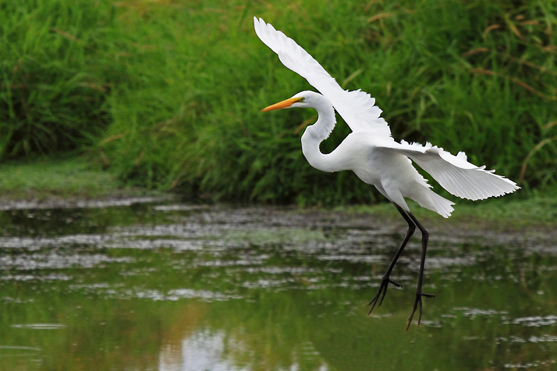 """Coming in hot! This great egret is seen at Ridgefield National Wildlife Refuge coming in for a landing.  <div class=""""ss-paypal-button""""><br><form target=""""paypal"""" action=""""https://www.paypal.com/cgi-bin/webscr"""" method=""""post"""" ><input type=""""hidden"""" name=""""cmd"""" value=""""_cart""""><input type=""""hidden"""" name=""""business"""" value=""""947PXEXBHP9H8""""><input type=""""hidden"""" name=""""lc"""" value=""""US""""><input type=""""hidden"""" name=""""item_name"""" value=""""Coming in hot! This great egret is seen at Ridgefield National Wildlife Refuge coming in for a landing.""""><input type=""""hidden"""" name=""""item_number"""" value=""""http:&#x2F;&#x2F;www.werthwildphotography.com&#x2F;Animals&#x2F;Birds&#x2F;Great-Blue-Herons&#x2F;i-xgKH2cC""""><input type=""""hidden"""" name=""""button_subtype"""" value=""""products""""><input type=""""hidden"""" name=""""no_note"""" value=""""0""""><input type=""""hidden"""" name=""""cn"""" value=""""Add special instructions to the seller:""""><input type=""""hidden"""" name=""""no_shipping"""" value=""""2""""><input type=""""hidden"""" name=""""currency_code"""" value=""""USD""""><input type=""""hidden"""" name=""""shipping"""" value=""""4.00""""><input type=""""hidden"""" name=""""add"""" value=""""1""""><input type=""""hidden"""" name=""""bn"""" value=""""PP-ShopCartBF:btn_cart_LG.gif:NonHosted""""><table class=""""printSize""""><tr><td><input type=""""hidden"""" name=""""on0"""" value=""""Print size"""">Print size</td></tr><tr><td><select name=""""os0""""> <option value=""""5 x 7"""">5 x 7 $14.00 USD</option> <option value=""""8 x 10"""">8 x 10 $20.00 USD</option> <option value=""""8 x 12"""">8 x 12 $20.00 USD</option> <option value=""""11 x 14"""">11 x 14 $28.00 USD</option> <option value=""""12 x 18"""">12 x 18 $35.00 USD</option> <option value=""""16 x 20"""">16 x 20 $50.00 USD</option></select> </td></tr></table><input type=""""hidden"""" name=""""currency_code"""" value=""""USD""""><input type=""""hidden"""" name=""""option_select0"""" value=""""5 x 7""""><input type=""""hidden"""" name=""""option_amount0"""" value=""""14.00""""><input type=""""hidden"""" name=""""option_select1"""" value=""""8 x 10""""><input type=""""hidden"""" name=""""option_amount1"""" value=""""20.00""""><input type=""""hidden"""" name=""""option_select2"""" value=""""8 x 12""""><input type=""""hidden"""" name=""""option_amount2"""" value=""""20.00""""><in"""