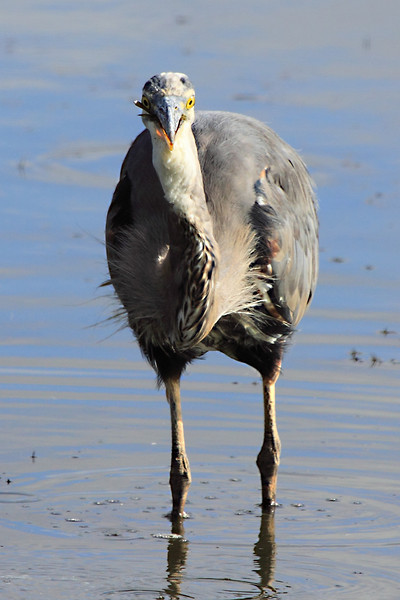 """A great blue heron devouring a large fish. Seen at Ridgefield National Wildlife Refuge.  <div class=""""ss-paypal-button""""><br><form target=""""paypal"""" action=""""https://www.paypal.com/cgi-bin/webscr"""" method=""""post"""" ><input type=""""hidden"""" name=""""cmd"""" value=""""_cart""""><input type=""""hidden"""" name=""""business"""" value=""""947PXEXBHP9H8""""><input type=""""hidden"""" name=""""lc"""" value=""""US""""><input type=""""hidden"""" name=""""item_name"""" value=""""A great blue heron devouring a large fish. Seen at Ridgefield National Wildlife Refuge.""""><input type=""""hidden"""" name=""""item_number"""" value=""""http:&#x2F;&#x2F;www.werthwildphotography.com&#x2F;Animals&#x2F;Birds&#x2F;Great-Blue-Herons&#x2F;i-zpdTXMg""""><input type=""""hidden"""" name=""""button_subtype"""" value=""""products""""><input type=""""hidden"""" name=""""no_note"""" value=""""0""""><input type=""""hidden"""" name=""""cn"""" value=""""Add special instructions to the seller:""""><input type=""""hidden"""" name=""""no_shipping"""" value=""""2""""><input type=""""hidden"""" name=""""currency_code"""" value=""""USD""""><input type=""""hidden"""" name=""""shipping"""" value=""""4.00""""><input type=""""hidden"""" name=""""add"""" value=""""1""""><input type=""""hidden"""" name=""""bn"""" value=""""PP-ShopCartBF:btn_cart_LG.gif:NonHosted""""><table class=""""printSize""""><tr><td><input type=""""hidden"""" name=""""on0"""" value=""""Print size"""">Print size</td></tr><tr><td><select name=""""os0""""> <option value=""""5 x 7"""">5 x 7 $14.00 USD</option> <option value=""""8 x 10"""">8 x 10 $20.00 USD</option> <option value=""""8 x 12"""">8 x 12 $20.00 USD</option> <option value=""""11 x 14"""">11 x 14 $28.00 USD</option> <option value=""""12 x 18"""">12 x 18 $35.00 USD</option> <option value=""""16 x 20"""">16 x 20 $50.00 USD</option></select> </td></tr></table><input type=""""hidden"""" name=""""currency_code"""" value=""""USD""""><input type=""""hidden"""" name=""""option_select0"""" value=""""5 x 7""""><input type=""""hidden"""" name=""""option_amount0"""" value=""""14.00""""><input type=""""hidden"""" name=""""option_select1"""" value=""""8 x 10""""><input type=""""hidden"""" name=""""option_amount1"""" value=""""20.00""""><input type=""""hidden"""" name=""""option_select2"""" value=""""8 x 12""""><input type=""""hidden"""" name=""""option_amount2"""" value=""""20.00""""><input type=""""hidden"""" name=""""option_s"""
