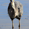 "A great blue heron devouring a large fish. Seen at Ridgefield National Wildlife Refuge.  <div class=""ss-paypal-button""><br><form target=""paypal"" action=""https://www.paypal.com/cgi-bin/webscr"" method=""post"" ><input type=""hidden"" name=""cmd"" value=""_cart""><input type=""hidden"" name=""business"" value=""947PXEXBHP9H8""><input type=""hidden"" name=""lc"" value=""US""><input type=""hidden"" name=""item_name"" value=""A great blue heron devouring a large fish. Seen at Ridgefield National Wildlife Refuge.""><input type=""hidden"" name=""item_number"" value=""http:&#x2F;&#x2F;www.werthwildphotography.com&#x2F;Animals&#x2F;Birds&#x2F;Great-Blue-Herons&#x2F;i-zpdTXMg""><input type=""hidden"" name=""button_subtype"" value=""products""><input type=""hidden"" name=""no_note"" value=""0""><input type=""hidden"" name=""cn"" value=""Add special instructions to the seller:""><input type=""hidden"" name=""no_shipping"" value=""2""><input type=""hidden"" name=""currency_code"" value=""USD""><input type=""hidden"" name=""shipping"" value=""4.00""><input type=""hidden"" name=""add"" value=""1""><input type=""hidden"" name=""bn"" value=""PP-ShopCartBF:btn_cart_LG.gif:NonHosted""><table class=""printSize""><tr><td><input type=""hidden"" name=""on0"" value=""Print size"">Print size</td></tr><tr><td><select name=""os0""> <option value=""5 x 7"">5 x 7 $14.00 USD</option> <option value=""8 x 10"">8 x 10 $20.00 USD</option> <option value=""8 x 12"">8 x 12 $20.00 USD</option> <option value=""11 x 14"">11 x 14 $28.00 USD</option> <option value=""12 x 18"">12 x 18 $35.00 USD</option> <option value=""16 x 20"">16 x 20 $50.00 USD</option></select> </td></tr></table><input type=""hidden"" name=""currency_code"" value=""USD""><input type=""hidden"" name=""option_select0"" value=""5 x 7""><input type=""hidden"" name=""option_amount0"" value=""14.00""><input type=""hidden"" name=""option_select1"" value=""8 x 10""><input type=""hidden"" name=""option_amount1"" value=""20.00""><input type=""hidden"" name=""option_select2"" value=""8 x 12""><input type=""hidden"" name=""option_amount2"" value=""20.00""><input type=""hidden"" name=""option_select3"" value=""11 x 14""><input type=""hidden"" name=""option_amount3"" value=""28.00""><input type=""hidden"" name=""option_select4"" value=""12 x 18""><input type=""hidden"" name=""option_amount4"" value=""35.00""><input type=""hidden"" name=""option_select5"" value=""16 x 20""><input type=""hidden"" name=""option_amount5"" value=""50.00""><input type=""hidden"" name=""option_index"" value=""0""><input type=""image"" src=""https://www.paypalobjects.com/en_US/i/btn/btn_cart_LG.gif"" border=""0"" name=""submit"" alt=""PayPal - The safer, easier way to pay online!"" class=""btnPayPal""><img alt="""" border=""0"" src=""https://www.paypalobjects.com/en_US/i/scr/pixel.gif"" width=""1"" height=""1""></form></div><div class=""ss-paypal-button-end"" style=""display:none""></div>"