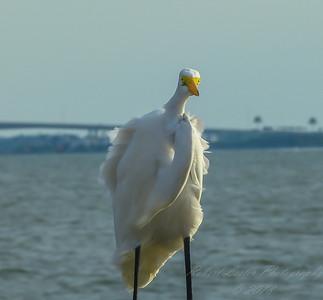 2015-09-21_P1090990_  Great Egret,Weaver Park,Dunedin,Fl