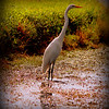 Great Egret.......Clearwater,Fl.   © 2014 RobertLesterPhotography.com