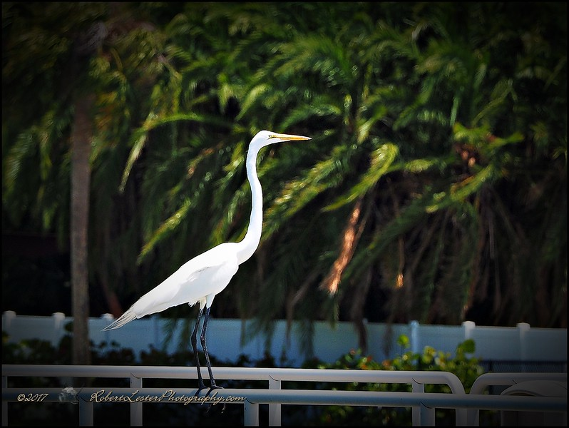 2017-04-28_P4290156_Great Egret,Gulfport,Fl