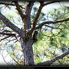 Great Horned Owl...Honeymoon Island...©PhotosRUs2008