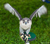 20160605_Green Chinmey Birds of Prey Day_720